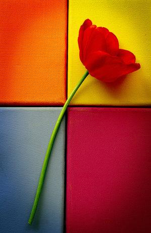 Tulip_Still_Life_II_by_aimeelikestotakepics